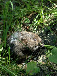Picture of Water Vole